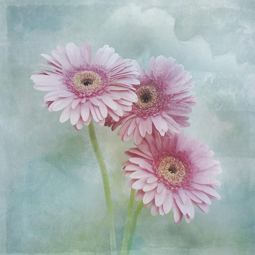 Nature Art Print Pink Gerbera flowers still life