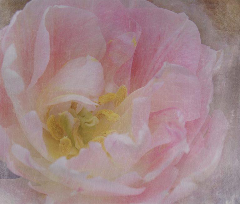Pink Frills Tulip Art Work
