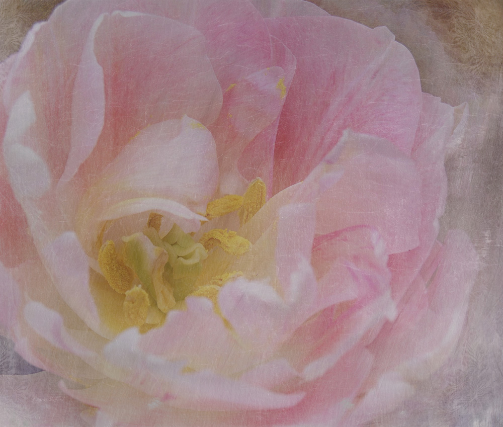 Pink Frills | Diane Stafford